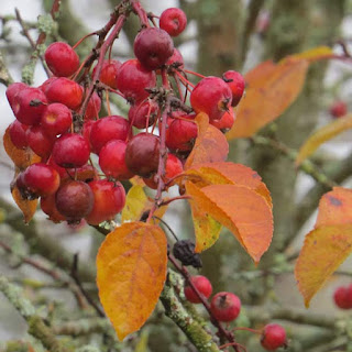 Malus floribunda or Ornamental Crabapple
