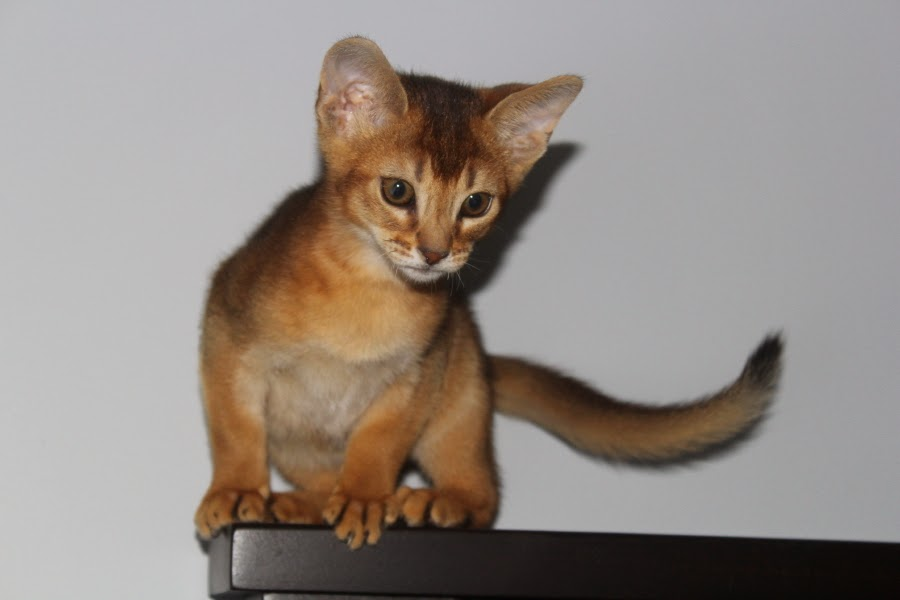 Abyssinian Cat Vancouver