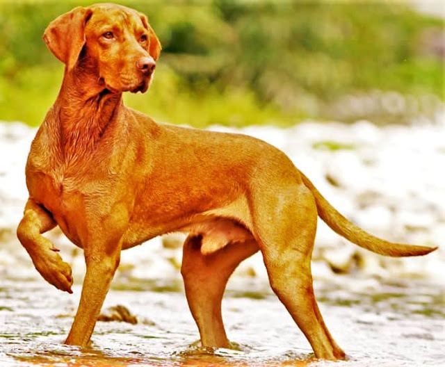 Vizsla dog,dog information, Dog facts,Best dog Breeds