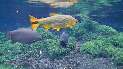 temperamen ikan golden dorado