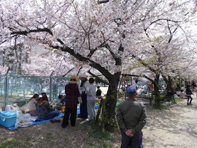 【大阪府門真市三ツ島】砂子水路の桜