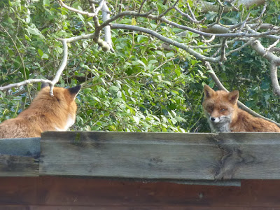 The Foxes In Their Place On The Shed
