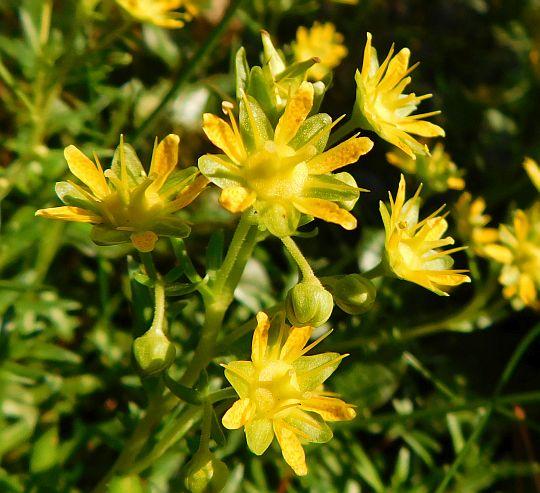 Skalnica nakrapiana (Saxifraga aizoides).