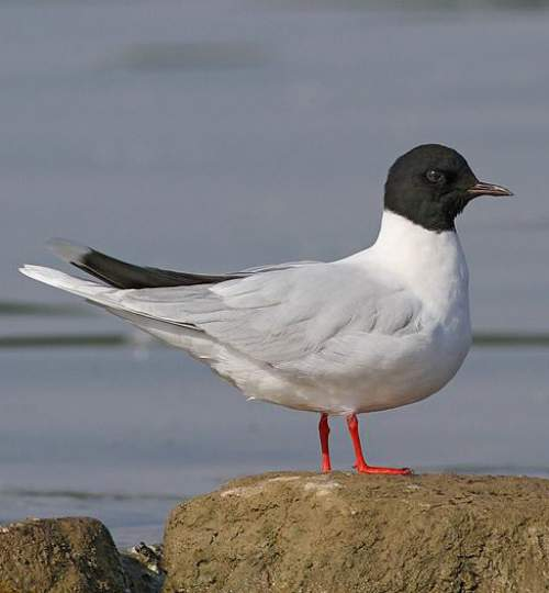 Indian birds - Picture of Little gull - Hydrocoloeus minutus
