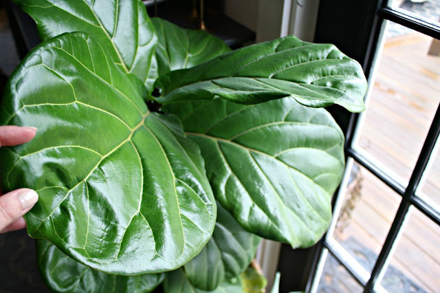healthy fiddle leaf care