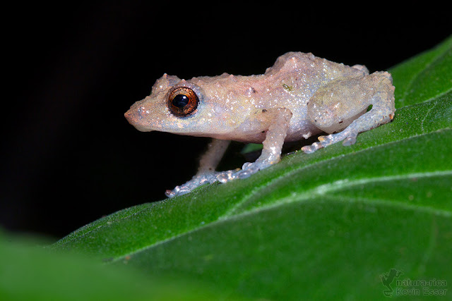 Diasporus diastema - Common Dink Frog