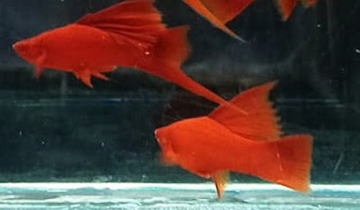 Gambar Ikan Platy Blood Red Swordtail