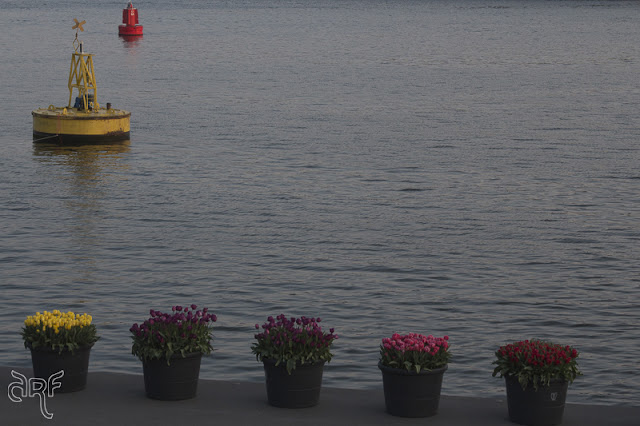 tulips and buoys at the IJ