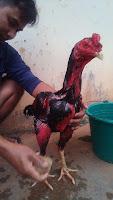 Cara memperkuat otot ayam aduan