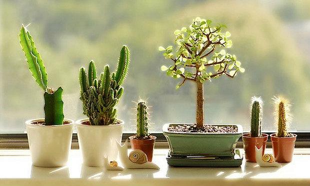 ต้นกระบองเพรช