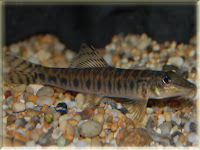 Zipper Loach Fish Pictures