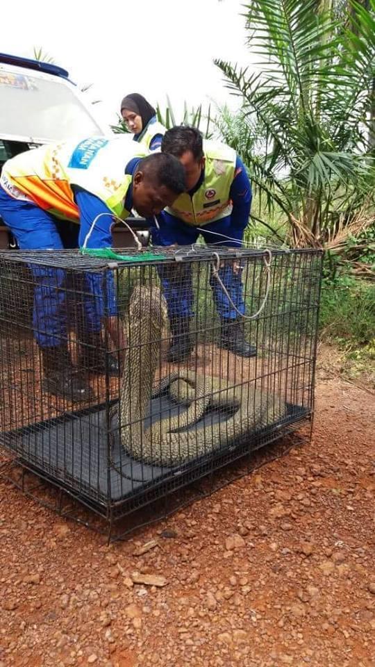 Ular Tedung Selar 3.5 Meter Berjaya Ditangkap