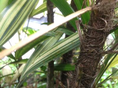 Batang Palem Waregu Variegata