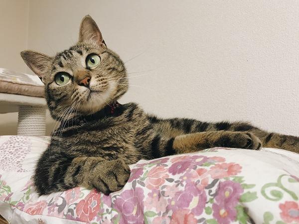 ベッドでくつろいでるキジトラ猫