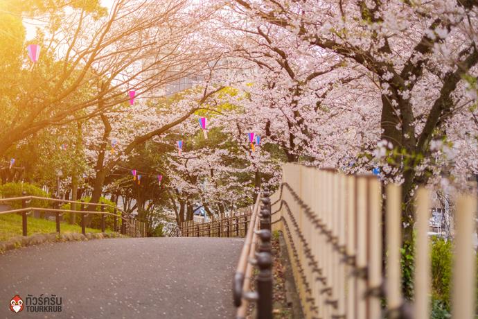 6. ทัวร์โตเกียว ชมซากุระที่สวนอะซุคะยามะ