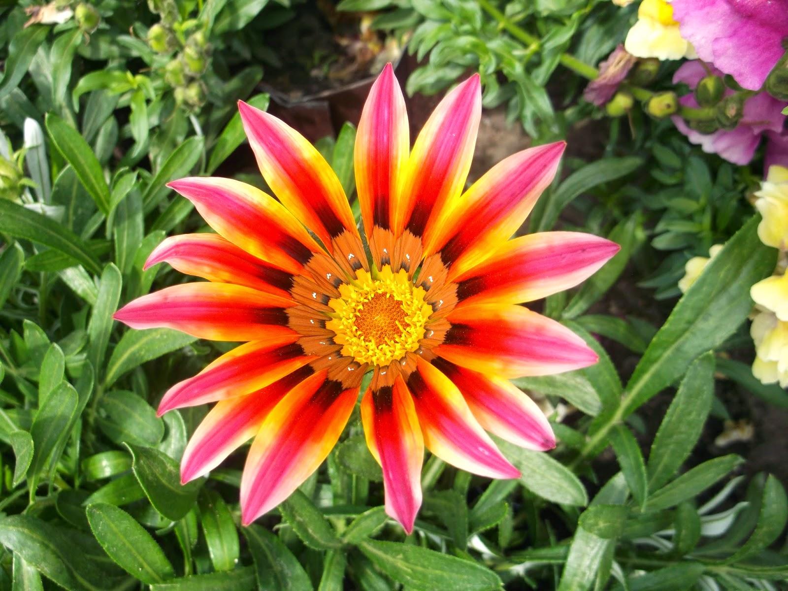 Цветы садовые однолетние картинки с названием