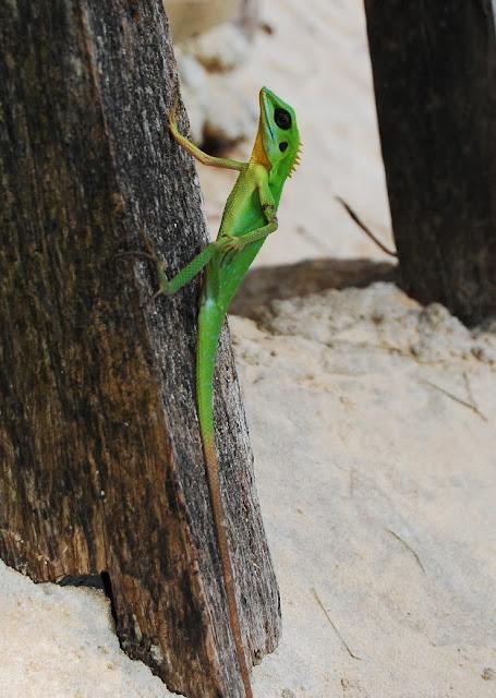 Lagarto de cresta verde (Bronchocela cristatella)
