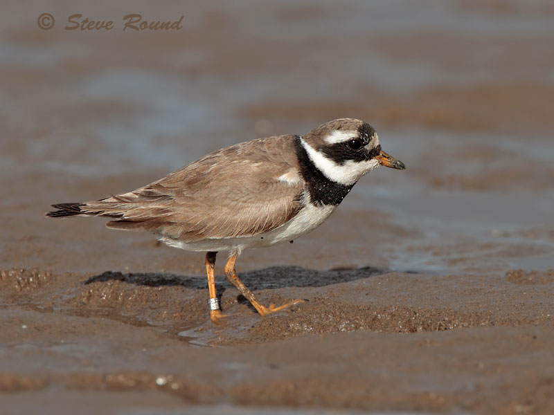ringed plover, wader, bird