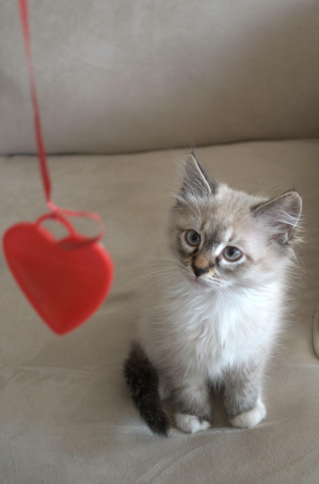 images of cats and kittens and valentines