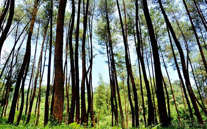 Pohon Pinus menjulang tinggi