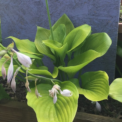 Sum and Substance Hosta blooming