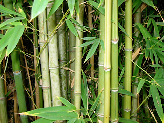Bamboo Forests of Ethiopia.