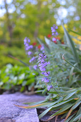 Nepeta Catmint on Stone Wall in Pennsylvania