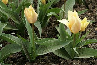 Tulipes Greigii - Tulipa Fur Elise - Tulipe Fur Elise - Tulipe Greigii Fur Elise - Tulipe de Greig