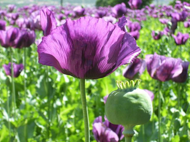 afyon, haşhaş, afyon moru, mor, mor renk, çiçek, afyon çiçeği, kavuz, uyuşturucu