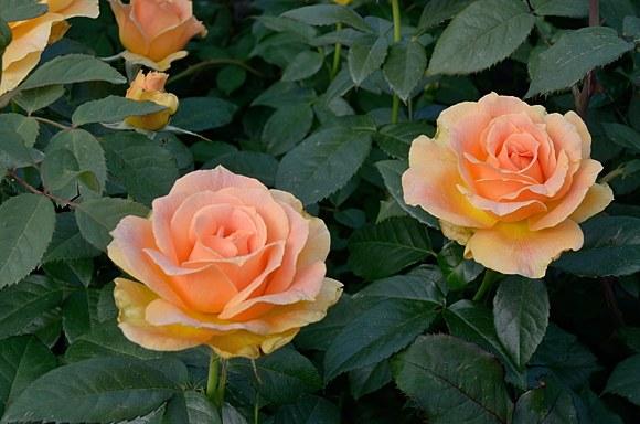 Easy Going сорт розы купить саженцы в Минске фото