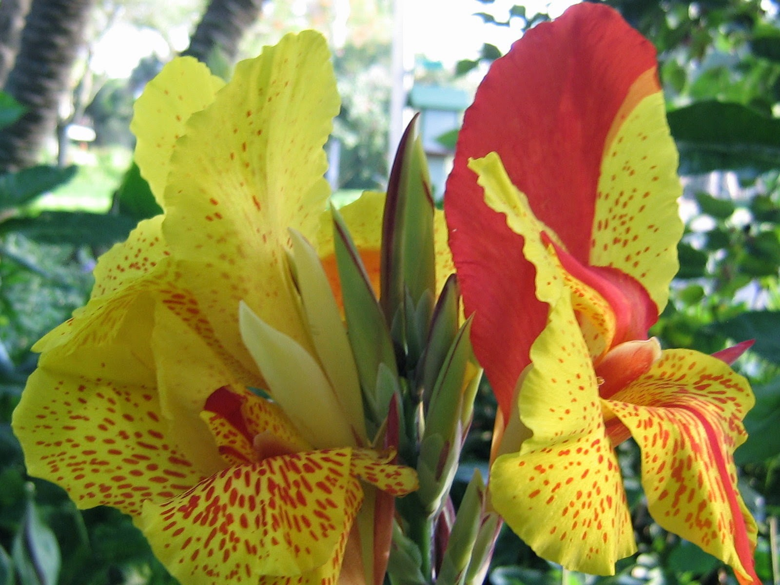 canna flower yellow and red