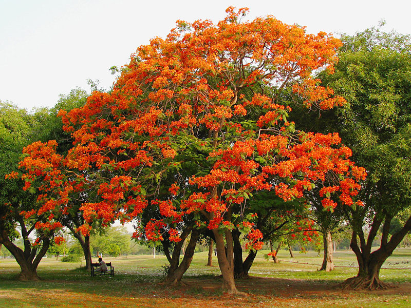 Trees planet delonix regia royal poinciana gulmohar for Arbol de fuego jardin