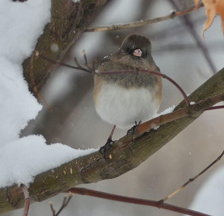 A dark-eyed junco sits on a branch with snow accumulating. The bird is head on, looking straight into the camera.