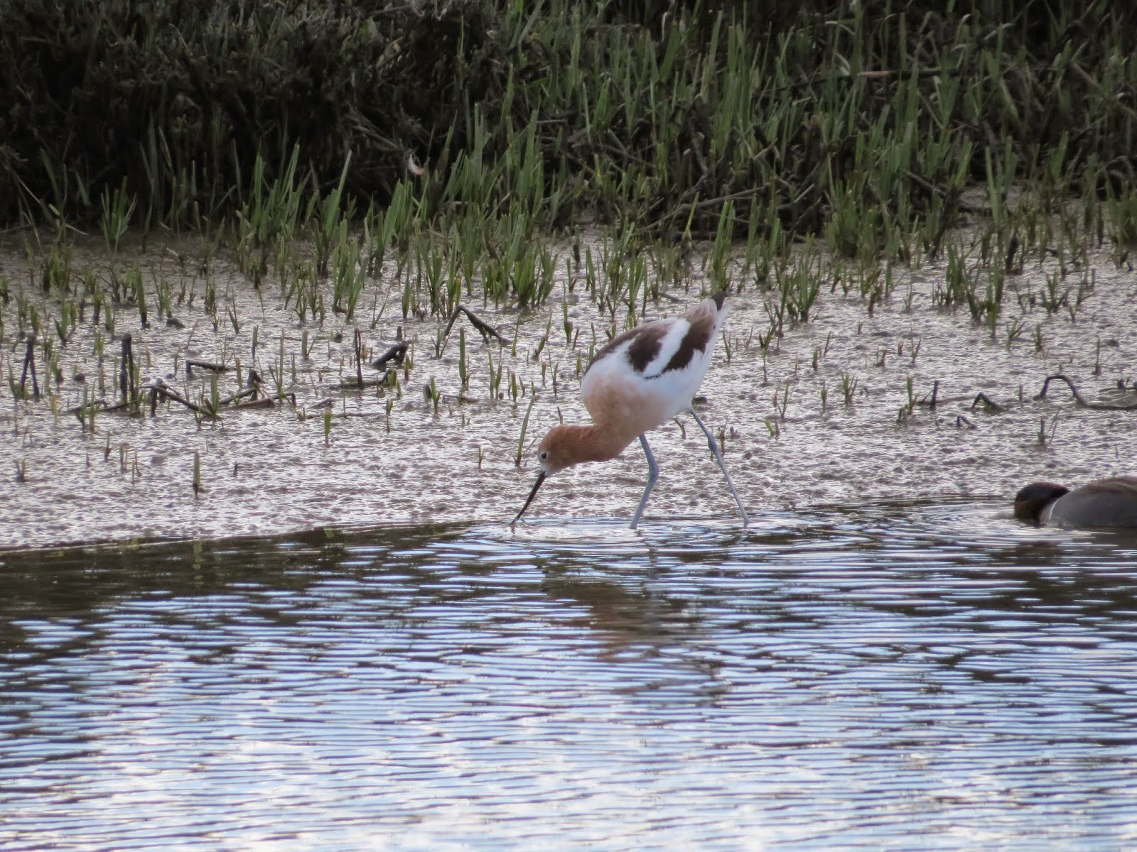 American avocet at Palo Alto Baylands