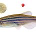 Radiação UV provavelmente dirigiu a localização do nicho hematopoiético durante a transição evolucionária dos peixes para o ambiente terrestre