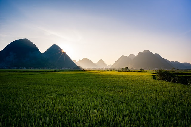 The golden rice fields during harvesting seasons in Northern Vietnam 1