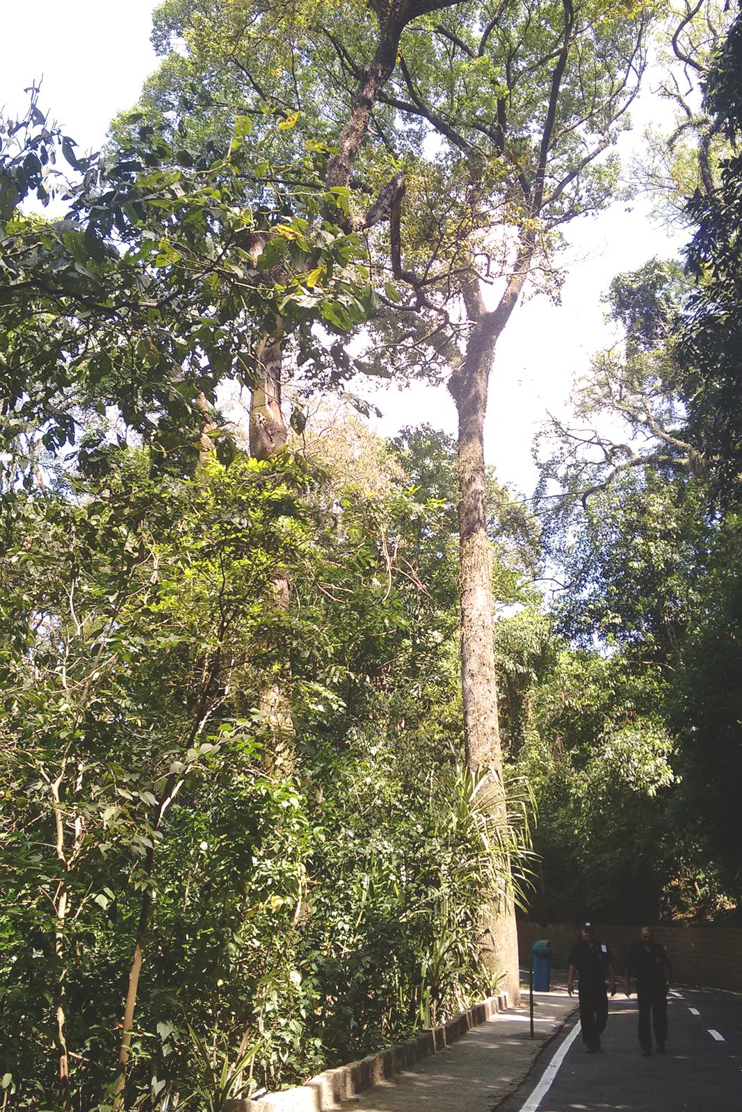 árvores grandes altas bosque dos jequitibás Campinas