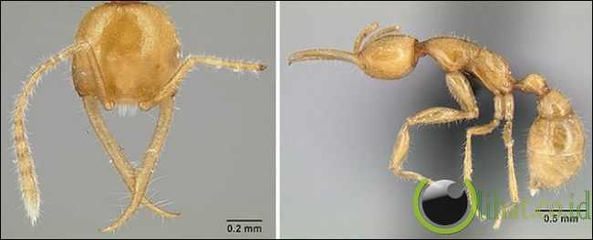 Semut Martialis Heureka (120 juta tahun)