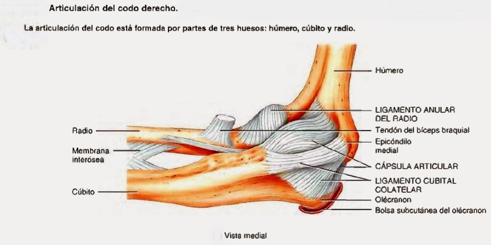 Magnífico Ligamentos Del Codo Colección - Anatomía de Las ...