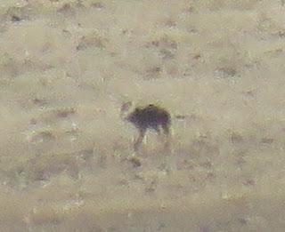 Vulpes ferrilata, Tibetan Sand Fox