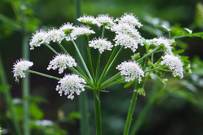 Pic of flower that looks like Cow Parsley or is it?
