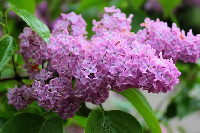 Lilac%2Bbloom.jpg
