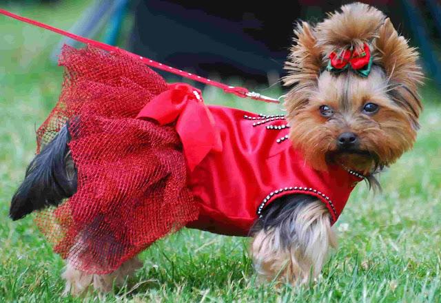 Yorkshire Terrier, Yorkshire Temperament, best dog breed