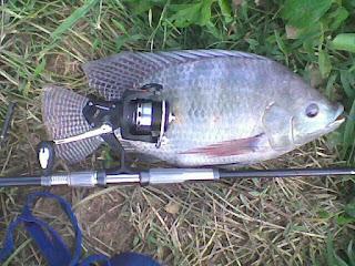 Umpan-Ikan-Nila-Babon
