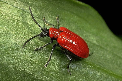 How can you get rid of red lily beetle?