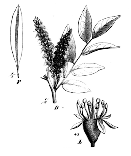 Cabureíba (Myrocarpus frondosus).