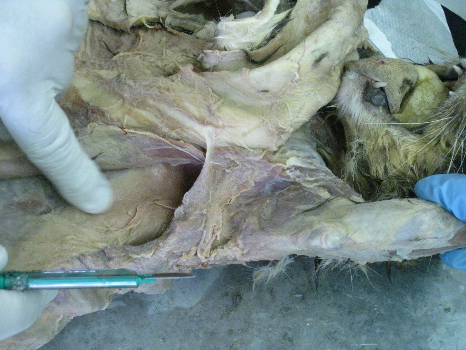 Kitty Cadaver: Cat Muscles - latissimus dorsi (anterior ...