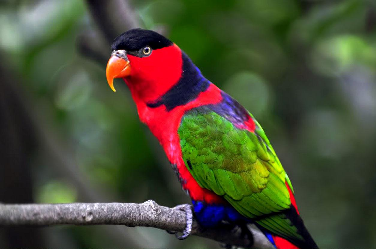parrots wallpaper bird - photo #2