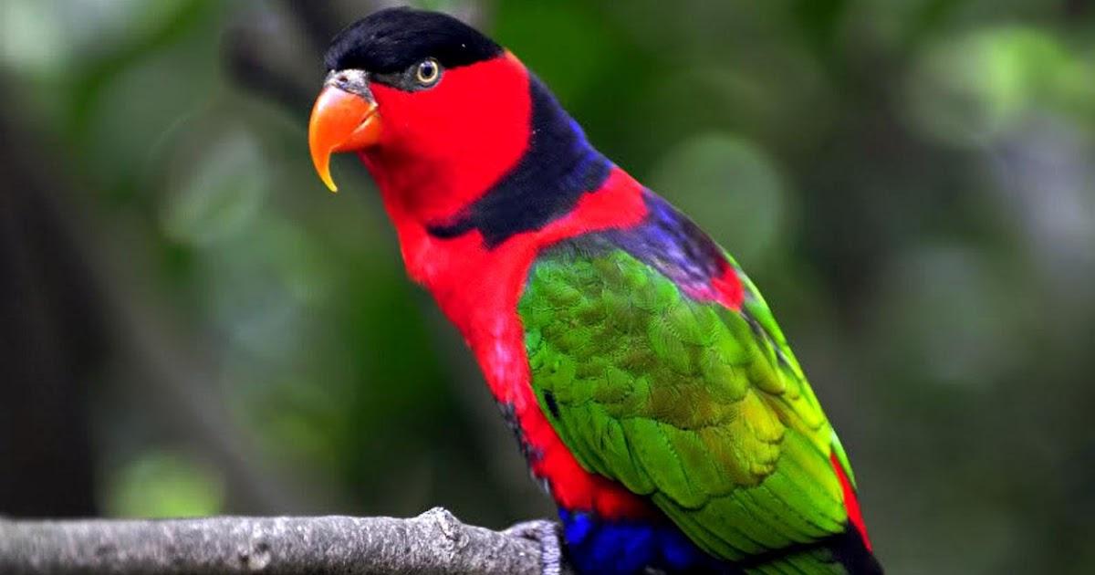 Parrot Birds Wallpaper...