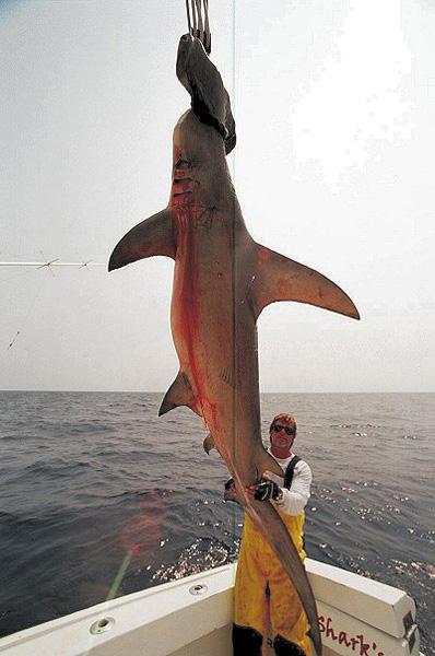 largest hammerhead shark - photo #17